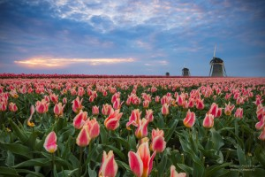 Tulips, mills and sunset