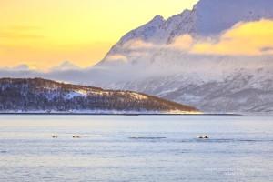 Dolfijnen in een Fjord