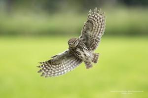 Steenuil, Athene noctua, bird of prey in flight